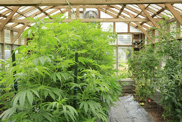 75% of indoor marijuana plants come from California's grow houses